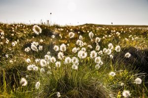 Cotton Grass, High Cantle, The Cheviots by Ian Cook