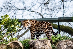 Jaguar at Chester Zoo by Chris Payne