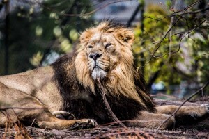 Lion at Chester Zoo by Chris Payne