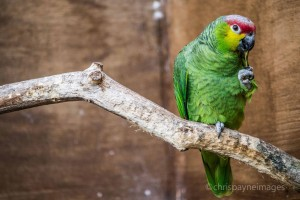 Parrot at Chester Zoo by Chris Payne