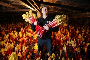 Rob Whitehead, MD of The Serious Sweet Company gathers Wakefield forced rhubarb