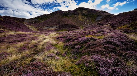 Heather on the Yorkshire Moors