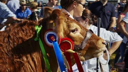 Prize Cattle at Stokesley Show