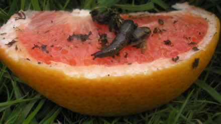 slug and grapefruit