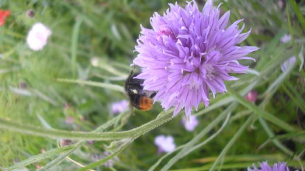 Bumble bee and chive flower