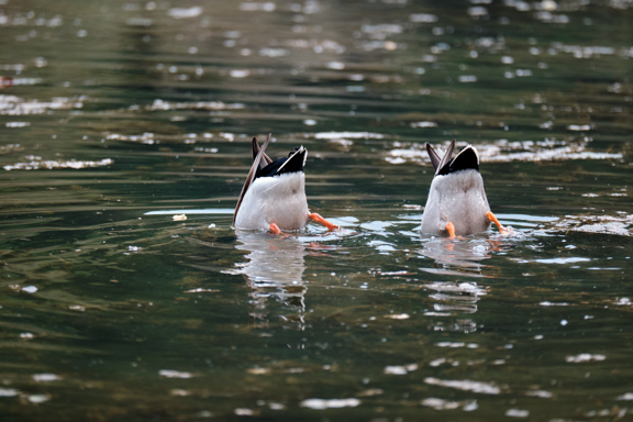 3 Synchronised duck dabbling on Staindale Lake in Dalby Forest