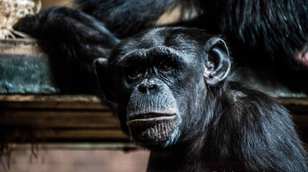 Chimp at Chester Zoo by Chris Payne