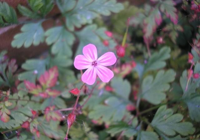 Herb Robert Flower