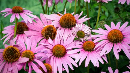 Echinacea (purple cone flower)
