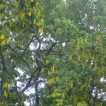 Laburnum Golden Rain Tree