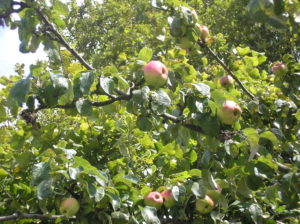 Windfall apples on the tree
