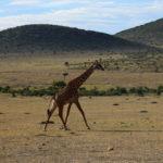 Giraffe, safari, Kenya