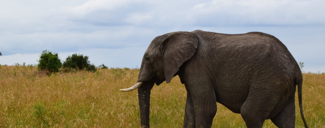 Elephant, Maasai Mara
