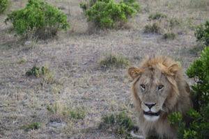 Male lion, Safari, Kenya