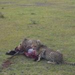 Cheethas, Maasai Mara, Safari, Kenya