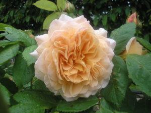Rose - Grace