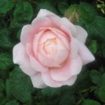 Rose Queen of Sweeden