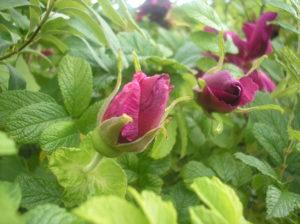 Dark pink roses