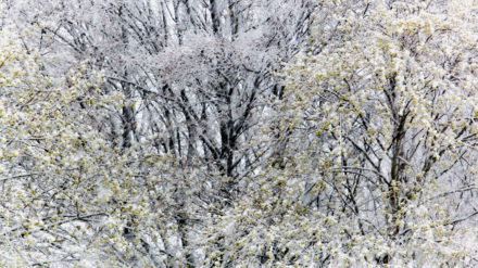 Snowy trees, image by Paul Hunter