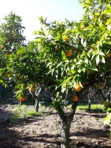 Antonios orange grove