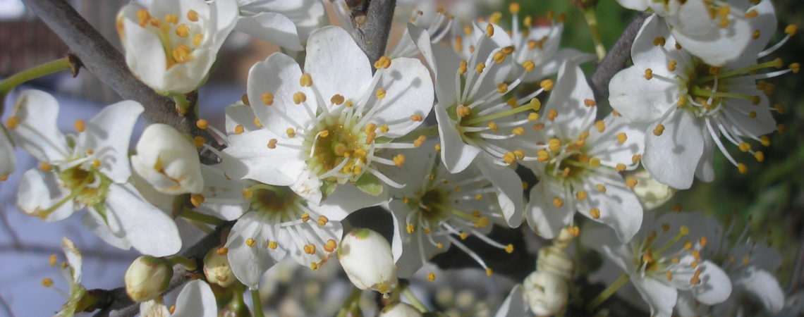 Blackthorn in flower