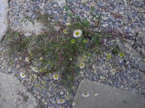Fleabane in the drainage patio