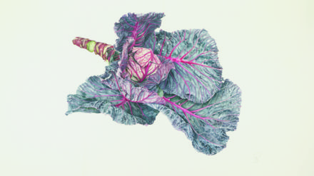 Brassica oleracea L. var capitata Marner Fruerot 'early red'. [Brassica oleracea Capitata Group]. [cabbage; Savoy cabbage, red cabbage]. Watercolour on paper. Grenfell Gold Medal, 2010.